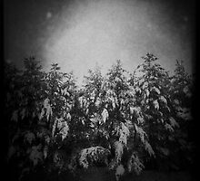 Snow on White Pines by SheSmiles