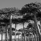 Angled Monkey Puzzle Trees by sarnia2