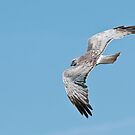 Northern Harrier by Michael Cummings