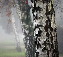 Birches in the Mist by Jenni Tanner