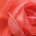 Deep Peach Coloured Rose by MaggieO