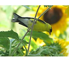 Goldfinch and Sunflowers Photographic Print