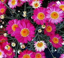 Teeny Tiny Terrific Asters by Debbie Robbins