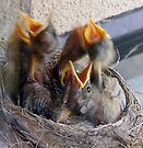 Baby Robins 6 by Debbie Pinard