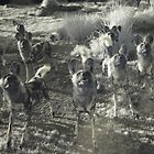 African Wild Dogs by lightsmith