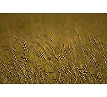 Rye Grass Photographic Print