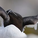 Razorbill, Saltee Islands, County Wexford, Ireland by Andrew Jones