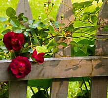 Rose on Fence by perpetualphoto