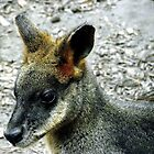 Sweet little Wallaby by waxyfrog