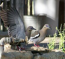 Texas White Wing Dove by Penny Odom