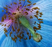 Meconopsis Grandis by Heather Haderly