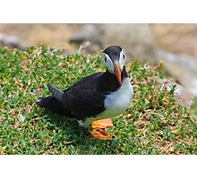 Puffin, Saltee Island, County Wexford, Ireland Photographic Print