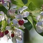 Cherry Blossom In spring by kipstar