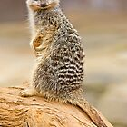 Smiling Meerkat by barry jones