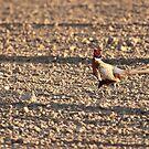 Common pheasant by Yves Roumazeilles