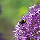 Bee on Allium by spamheadsmum