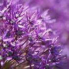 Allium Close Up by spamheadsmum