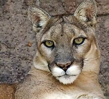 Sonora Desert Mountain Lion  by Chuck Gardner