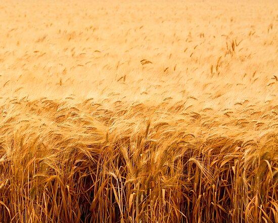 California Wheat Field by Buckwhite
