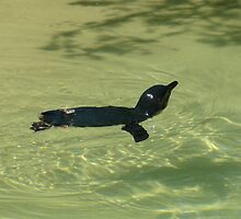 Fairy Penguin Swimming by sgardiner