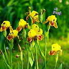 Yellow Iris by Kathy Nairn
