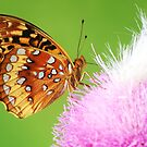 Spangled Fritillary butterfly on thistle by SusieG