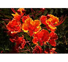 Mexican Red Bird Of Paradise Photographic Print