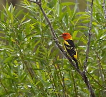 Western Tanager by c painter
