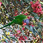 Rainbow Lorikett by Cindy McDonald