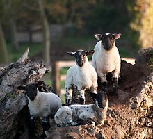 Spring Lambs by Christopher Cullen