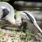 Grey heron on strike by Marcel van Ommeren