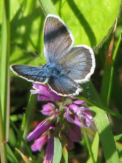 Silver Studded Blue - Lycaena Plebejus Argus by Dennis Melling