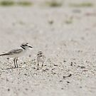The Snowy Plover by Kathy Cline