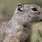 Uinta Ground Squirrel by Yacoub Hilweh