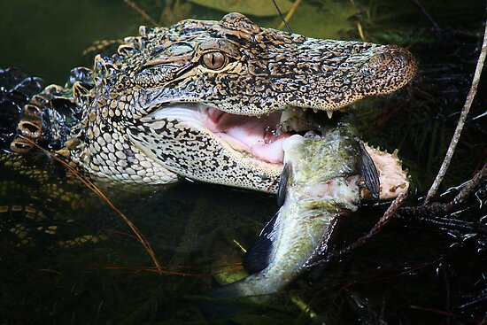 Alligator enjoying his just caught Catfish by Paulette1021
