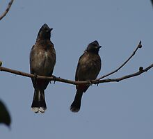Red Vented Bulbul Pair by ramraj
