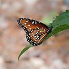 Resting Monarch by Robert Kelch, M.D.