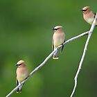 Cedar Waxwings by Rob Lavoie