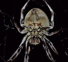 Big Arse Spider by mavynic