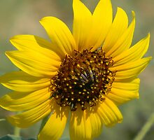 Sunflower by Navigator