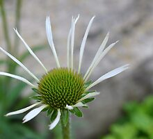 White Echinacea Flower by Paula Betz