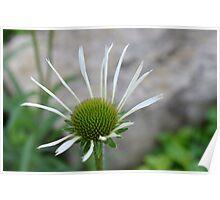 White Echinacea Flower Poster