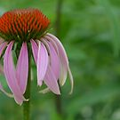 Purple Coneflower by Paula Betz
