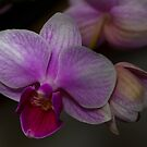 Orchid by Chris Morrison