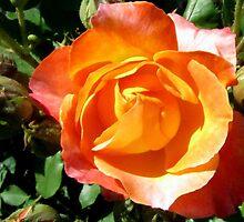 Peace Rose for Debi by Debbie Robbins