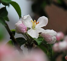 BLOSSOM  1 by Aritheeagle