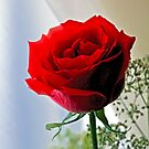One Red Rose by Richard Earl