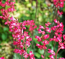Heuchera In Pink by Rewards4life