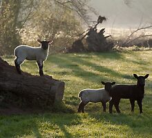 Lambs at play by Christopher Cullen