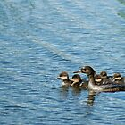 Hooded Merganser with ducklings by Robin Clifton